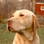 zuti labrador retriver sa nosem boje jetre