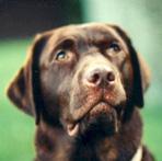 cokoladni labrador retriver